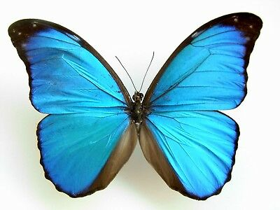 Morpho anaxibia (Folded) A- Taxidermy REAL Unmounted