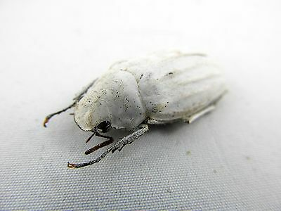 Cyphochilus insulanus White scarab Taxidermy REAL Beetle