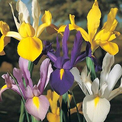 100 x Mixed Dutch Iris Bulbs, Beautiful Spring Flowers. More in our eBay Shop.