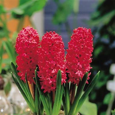 10 x Jan Bos red Hyacinth Bulbs Size 14/15 . Easy to grow. Indoor bulbs