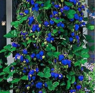 25-50-100-200 Blue Climbing Strawberry Fruit Seeds - Buy Any 3 Get 1 FREE