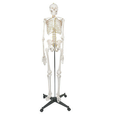 High Quality Human Anatomical Anatomy Skeleton Model with Spinal Nerves + Stand