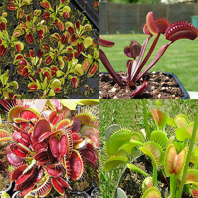 500PC Potted Insectivorous Plant Seeds Dionaea Muscipula Giant Clip Venus Flytra