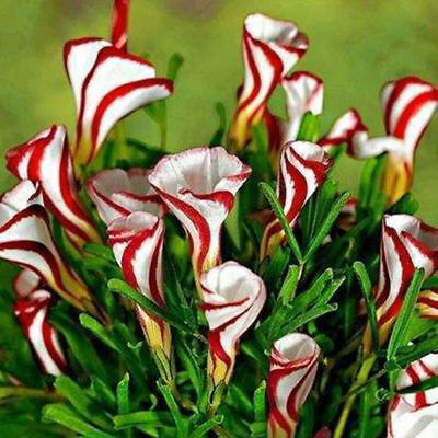 Oxalis Versicolor Rare Flowers Seeds Flowers For Garden & Home Plant 100Pcs