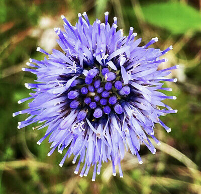 Rare Blue Daisy Plants Flower Seeds Exotic Ornamental Flowers Garden Plant FRESH