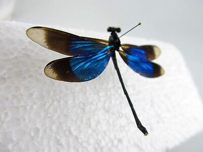 Blue-winged Damselfly (Philippines) Taxidermy REAL Insect Unmounted
