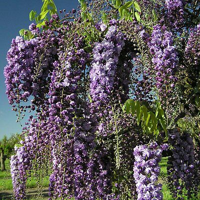 Wisteria Floribunda Black Dragon in 1L pot - grafted plant