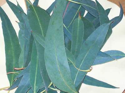 Eucalyptus cut Leaves Wild Organic for Infusion-Sinus-Antiseptic-Stress-50g