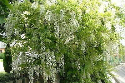 Wisteria sinensis Alba in 1L pot - grafted plants