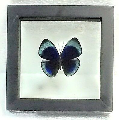 Real Asterope Leprieuri Butterfly Taxidermy N Black Double-Glass Wood Frame Peru