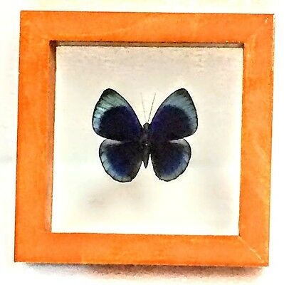 Real Asterope Leprieuri Butterfly Taxidermy In Double-Glass Wood Frame Peru