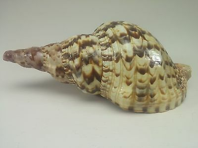Charonia Tritonis Shell Large Triton Trumpet Sea Snail Seashell 190 mm Long