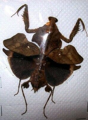 Deroplatys lobata (Female) Mantis Leaf Mimic REAL Insect Spread