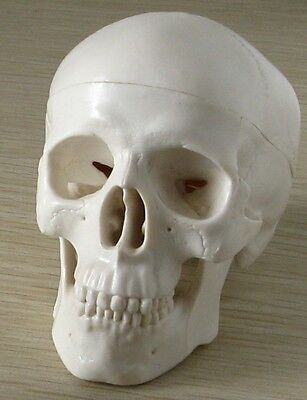 Mini Skull Human Anatomical Anatomy Head Medical Model Convenient  And Fine