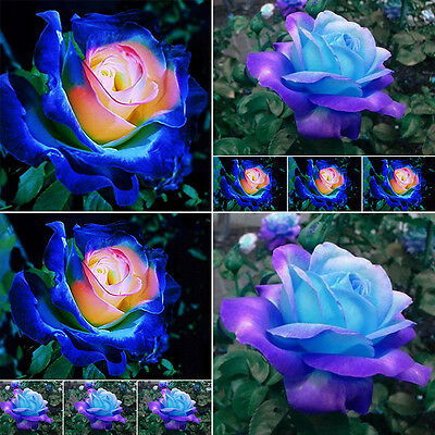 50Pcs Beautiful Grow Blue-Pink Rose Flower Seeds Home Garden Plants Rare