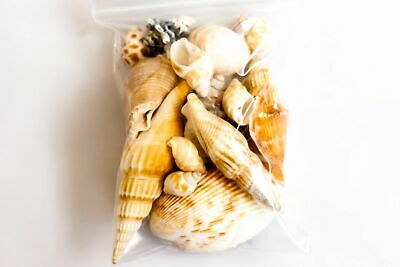 Craft Shells Assorted Sea Shells Natural Beach / Seashells Mixed small / Large