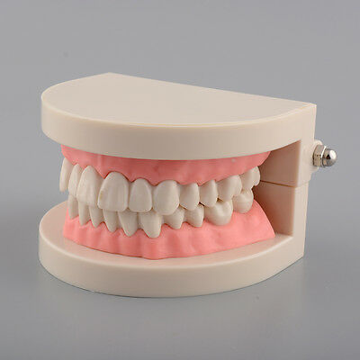 Hot Natual Dental Life-Size Hinged Teeth Model for Teaching Children Kids