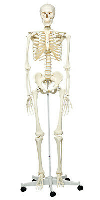 Anatomical Model - Stan the classic skeleton on roller stand  1 EA