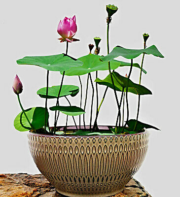 Nelumbo nucifera Samen, Bonsai Lotus, Bowl Lotus, Direktimport aus china