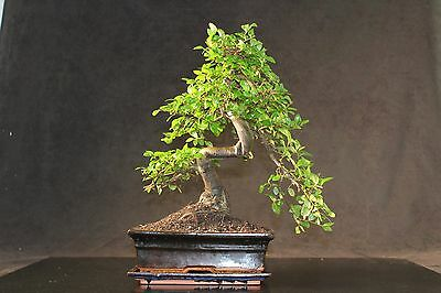 Large Chinese Elm Indoor Bonsai tree 35-40cm with Ceramic drip tray