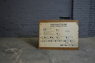 Vintage Retro Polydactylism/Learning From Fossils School Educational Poster
