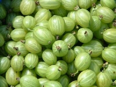 1X 2-3Ft Large Invicta Green Gooseberry Bush - Fruit Plant Multi Branched