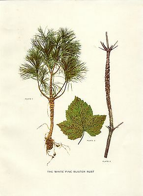 Early 1900s Antique Forest Print ~ The White Pine Blister Rust