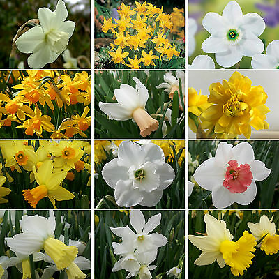 Narcissus Bulbs Perennial Daffodil Spring Flowering Bulbs Garden Plants
