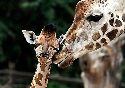 Giraffe With Baby 8X10 Glossy Photo Picture Image #7