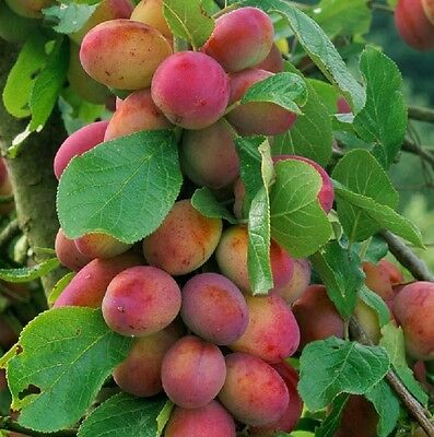 1X 4-5FT Large Victoria Plum Fruit Tree Juicy, Self Fertile & Ready to Fruit