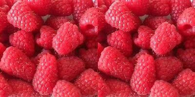 10X Large Tall Raspberry Chemainus - Fruit Plants - * New Variety *