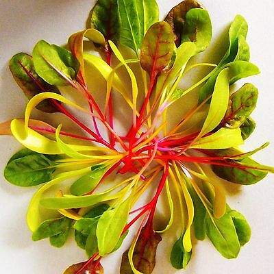 CHARD - BRIGHT LIGHTS - 80 seeds [..for BabyChards/MicroGreens/Leaves & Stalks]