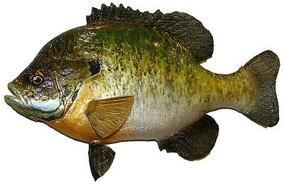 Chainsaw Hand Carved Bluegill Wall mount Fish fishing Bream Shellcracker 16121