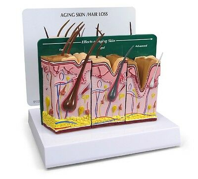 NEW GPI Anatomical Aging Skin and Hair Loss Model 3900
