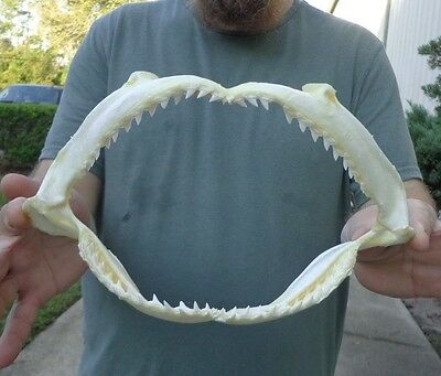 Real 10-1/4 inch Smooth Hammerhead shark jaw teeth mouth taxidermy # 22247