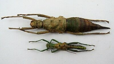 Spiny stick insect PAIR (Philippines) A2 Insect Unmounted