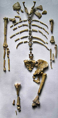 Complete LUCY find - Australopithecus afarensis , 3.2 mil. years  -  replica