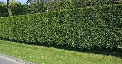 50X 2-3Ft Tall Green Leylandii Trees - Evergreen Hedging Plants - P9 Potted