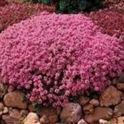 Creeping Thyme (Thymus Serpyllum Mother of Thyme) - 200 seeds