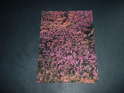 NORTHERN IRELAND  BLOOMING HEATHER IN THE MOURNES POSTCARD Co DOWN