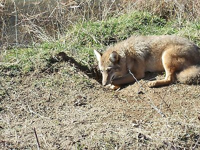 Trappers Tv-Advanced Coyote Trapping & Snaring Dvd