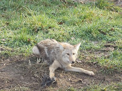 Advanced Coyote Trapping & Snaring Dvd-8 Catches Just Filmed !!