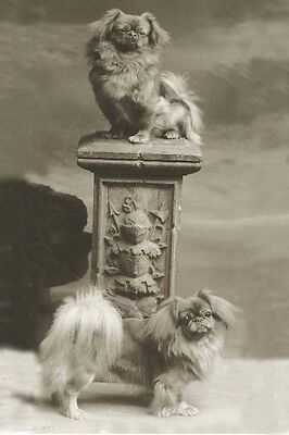 Pekingese Dogs Antique Photograph Pre-1915  - LARGE New Blank Note Cards