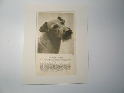 """Mounted 1931 Irish Terrier dog print 8"""" x 10"""" IDEAL GIFT Collectable"""