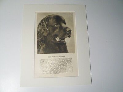 """Mounted 1931 NEWFOUNDLAND dog print 8"""" x 10"""" IDEAL GIFT Collectable Newfie"""