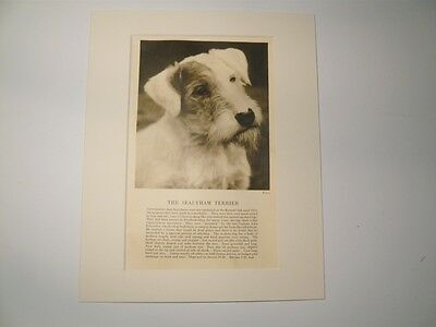 """Mounted 1931 SEALYHAM TERRIER dog print 8"""" x 10"""" IDEAL GIFT Collectable"""