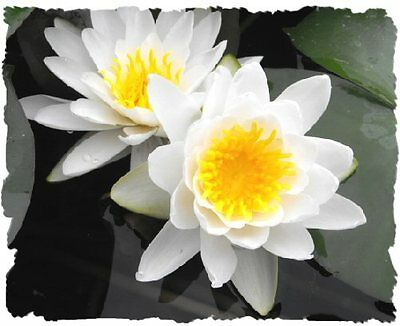 Need to Go * CLEARING SALE  * White * Hardy WATER LILY Plant * N.'Albida'