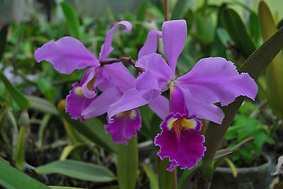 C.warscewiczii tipo Jungpflanze seedling cattleya  orchid