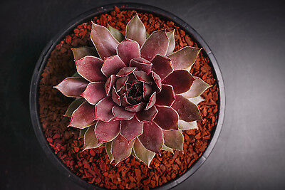 Sempervivum 'Purdy' Succulent rare plant - Display in 80mm pot (S)