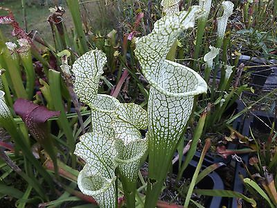 Pick your own cross of sarracenia carnivorous plant seeds B, plus free seeds